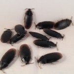 12 Fake Cockroach Bugs For Pranks or Halloween ONLY 91 Cents Shipped!