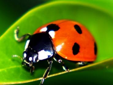 live-ladybugs-on-sale